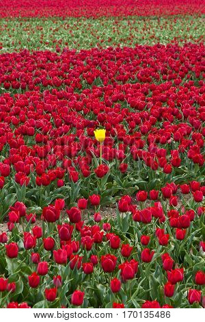 Spring in the Netherlands red tulips field with one yellow tulip isolated