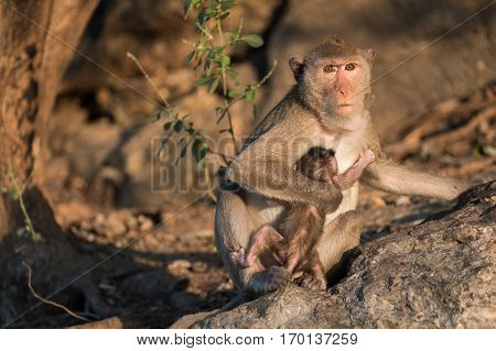 Wildlife monkey with baby in forest. Wildlife animal in Thailand