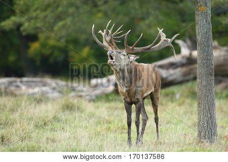 Cervo rosso o cervo nobile, stagione del bramito