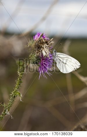 White butterfly foraging on a milk thistle flowerhead