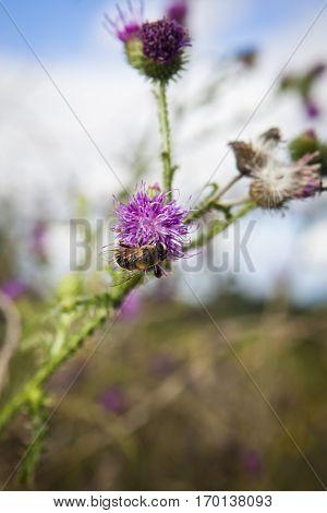 bee foraging on a milk thistle flowerhead