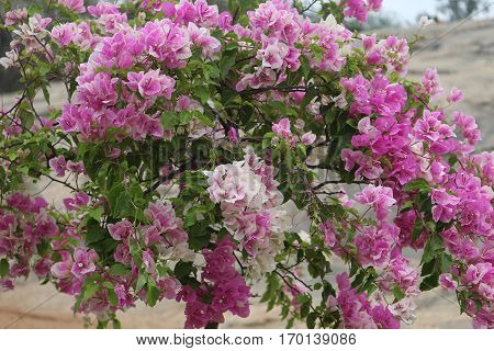 bunch of Bougainvillea flowers in the park