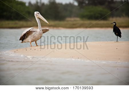 Pelican and black egret on the sand by the shoore, Langue de barbarie Senegal