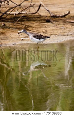 Lesser Yellow legs bird fishing in a river, Senegal, Africa