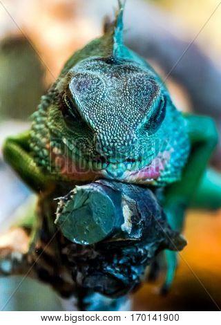 portrait of sleeping water agama, green dragon