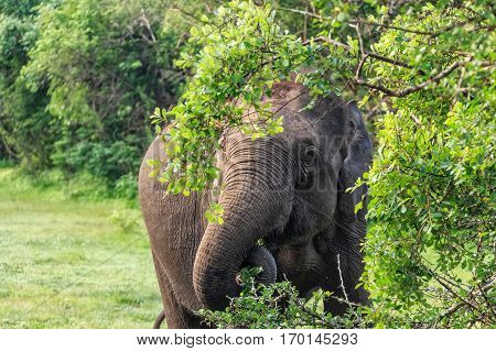 Single elephant browsing in tropical forest on Sri Lanka