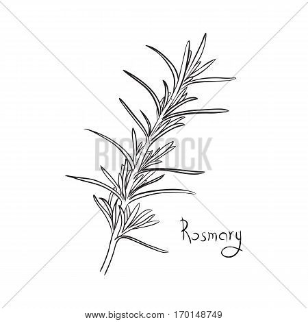 rosemary sketch style vector illustration for your design. herb image