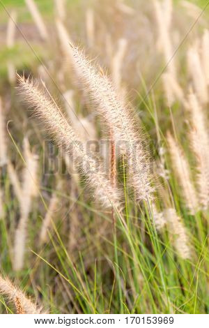 Mission grass (Feather Pennisetum) swaying in natural field in blurred focus in the background romantic sunset concept.