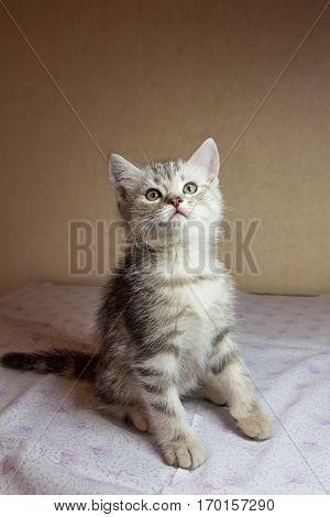 Beautiful grey kitten. British shorthair cat. Russia.