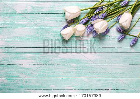 Border from tulips and blue muscaries flowers on turquoise wooden background. Selective focus. Place for text.