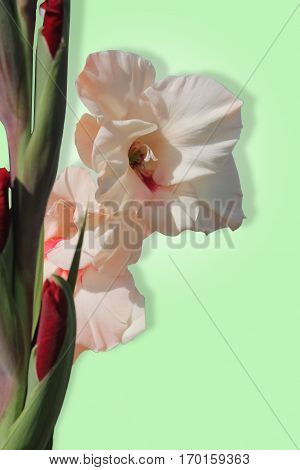 Beautiful pale pink Gladiolus isolated on a pale green background.
