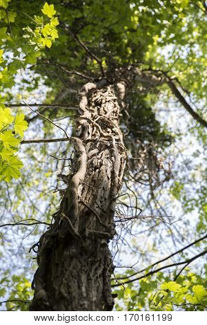 An isolated cutout of an upward image of a tall aged and weathered forest tree.