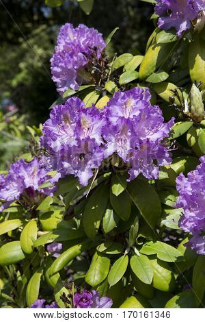 Blooming rhododendron with purple flowers under the sunlight