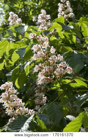 Blooming conker tree with white flowers under summer sunlight