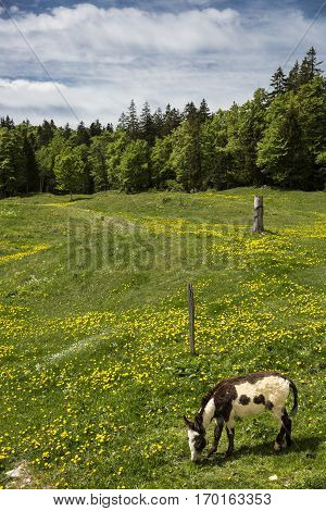 Mountain landscape blooming meadow with a donkey grazing - Jura Switzerland