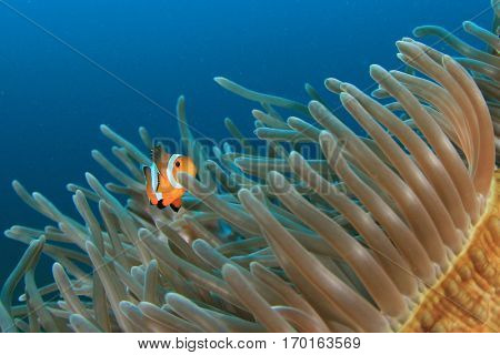 Clownfish anemonefish fish in sea anemone