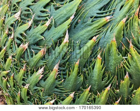 Background of sago palm tree. Green texture pattern of Cycas tree.