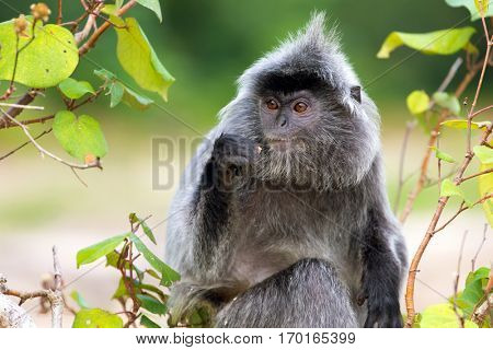 Silvered leaf monkey eating figs on the tree, Bako National Park, Malaysia, Borneo