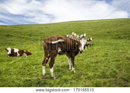 landscape of Jura mountain with blooming green meadow with cows grazing Switzerland