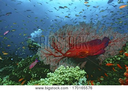 Scuba diver watching grouper and school of fish on coral reef