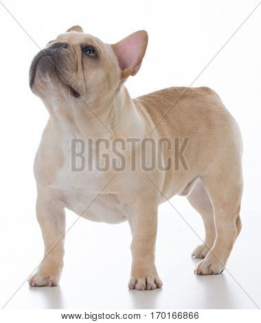 male french bulldog standing on white background