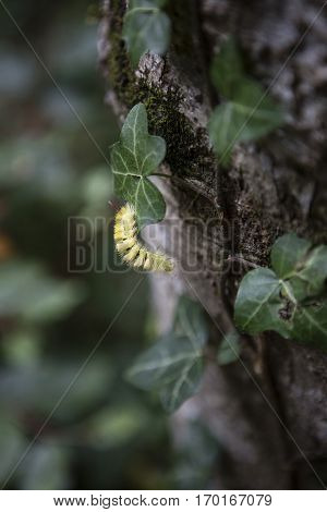 Yellow catterpillar going up between the leaves on a tree trunk