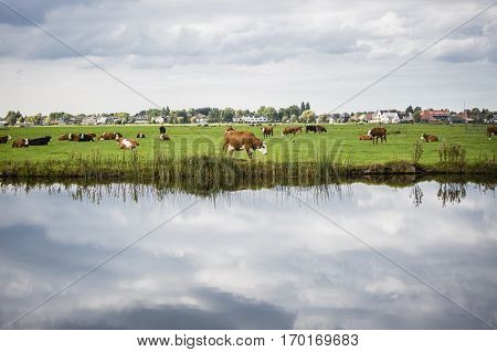 Dutch Holstein dairy cows grazing in field the Netherlands