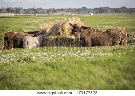 Poitou's donkeys eating hay in a green field