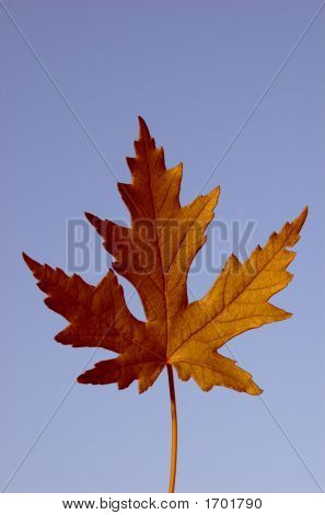 Picture Of A Gold Isolated Maple Leaf