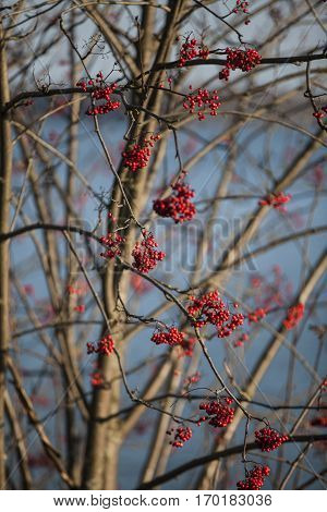 Red Elderberry with red fruits and no leaf