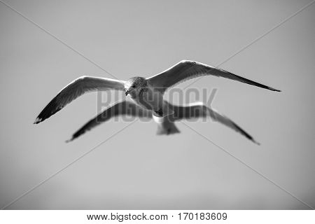 Black and white Seabird flying in movement