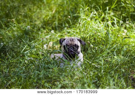 Pug dog lying on green grass on a clear summer day.