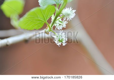 Mulberry plant or raw mulberry fruit , mulberry
