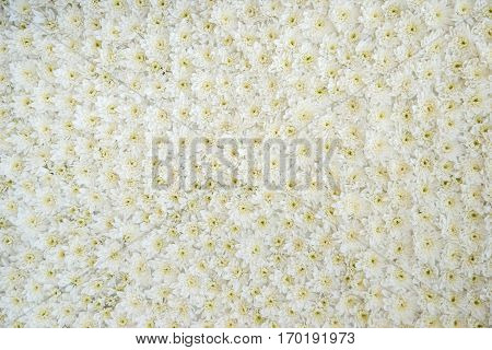 White Daisy As Background Or Texture Outdoor