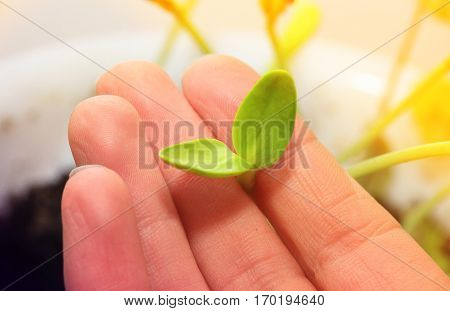 small young green sprout of a sunflower in the hand