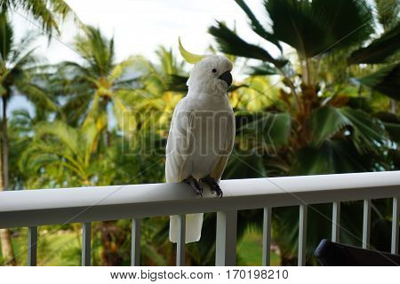 Beautiful white Cockatoo parrot sitting on the balcony