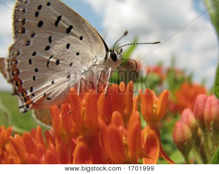 Soapberry Hairstreak Butterfly