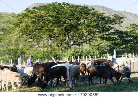 Farmer Conducting His Herd Of Cows Near Santiago De Cuba