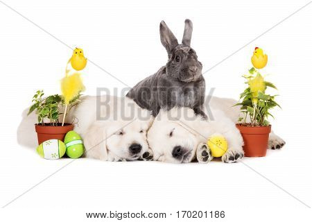 adorable grey rabbit posing with  puppies and easter eggs