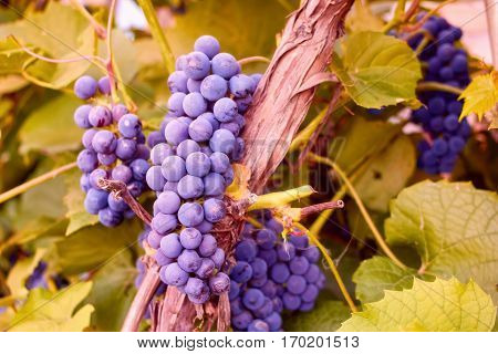 Grapes Cluster On Vine With Copy-space Against Sunlight