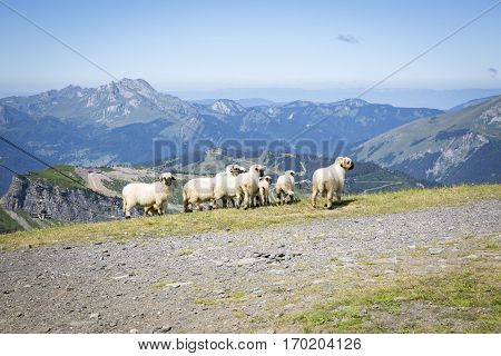 Green summer alpine landscape with cattle of sheeps view over Swiss Alps mountain massif Canton du Valais Switzerland