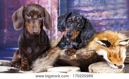 Dachshund lying on a fox pelt