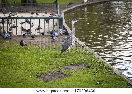 Great Blue Heron (Ardea herodias) on the grass by a pond in the park