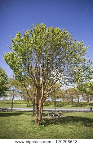 Birchbark Cherry or Prunus serrula tree with copper colored bark
