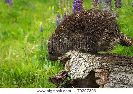 Porcupine (Erethizon dorsatum) Looks Over Side of Log - captive animal