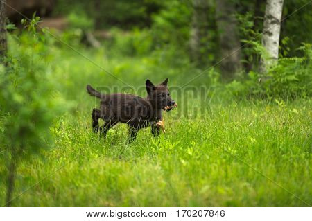 Grey Wolf (Canis lupus) Pup Runs With Meat - captive animal