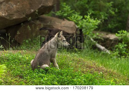 Grey Wolf (Canis lupus) Pup Sits Near Den - captive animal