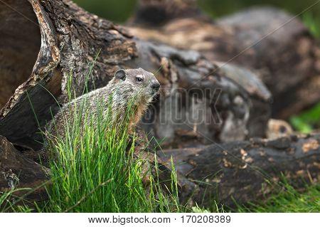 Young Woodchuck (Marmota monax) Looks Right - captive animal