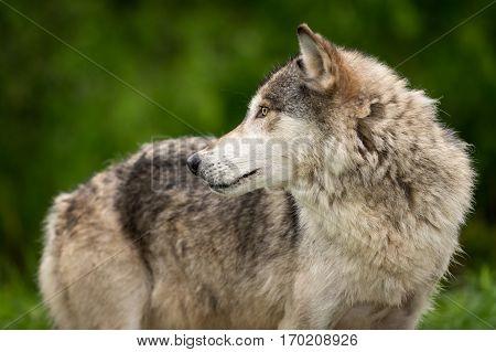 Grey Wolf (Canis lupus) Looks Left Along Body - captive animal