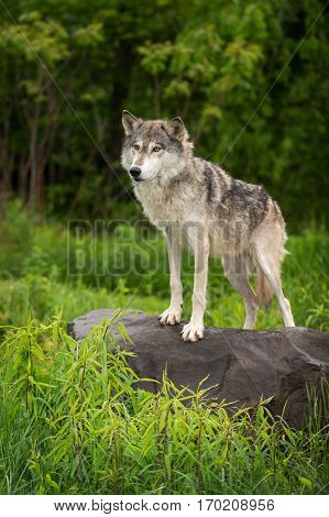 Grey Wolf (Canis lupus) Stands To Left Atop Rock - captive animal